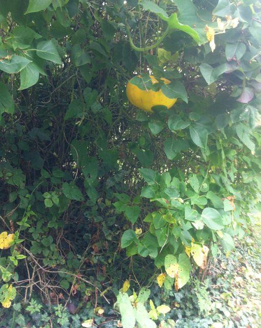 Climbing pumpkin